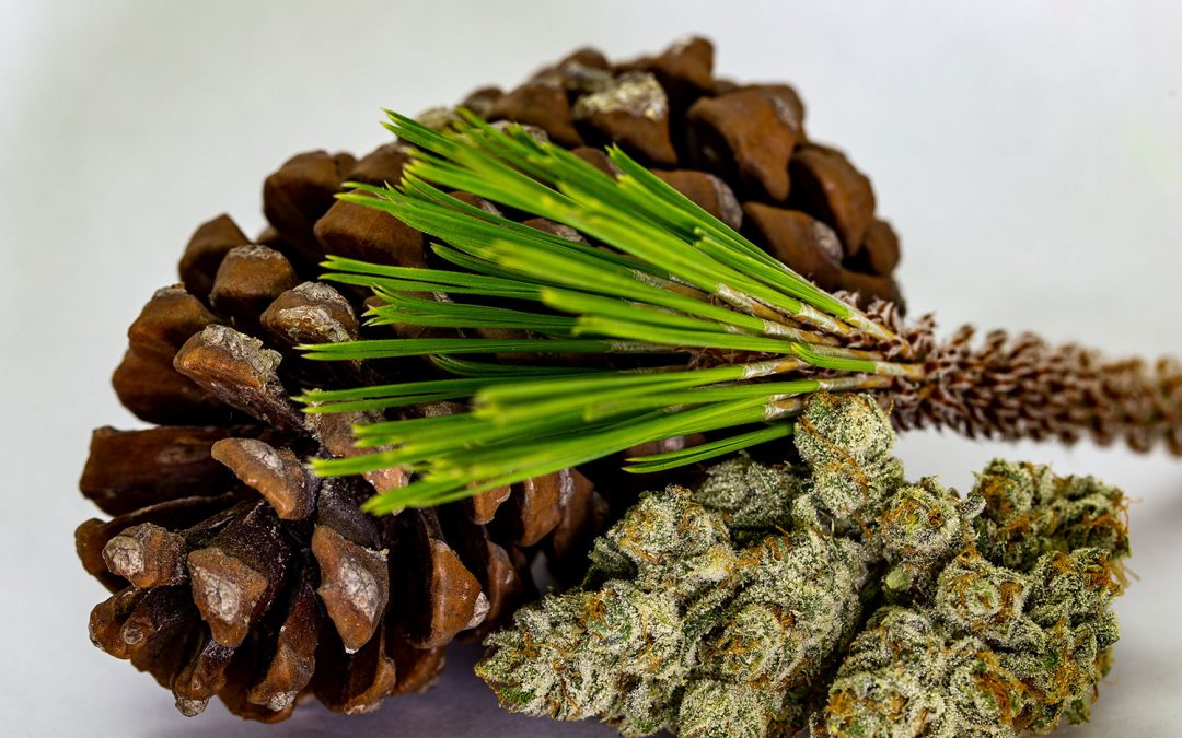 COMMON TERPENES IN CANNABIS/HEMP AND THEIR EFFECTS
